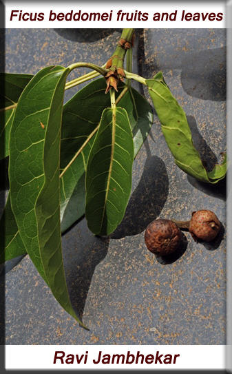 Ficus beddomei fruits and leaves