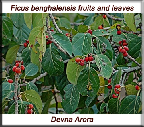 Ficus benghalensis fruits and leaves