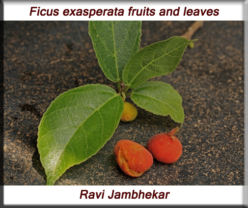 Ficus exasperata fruits and leaves