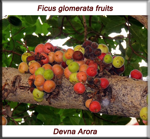 Ficus glomerata fruits
