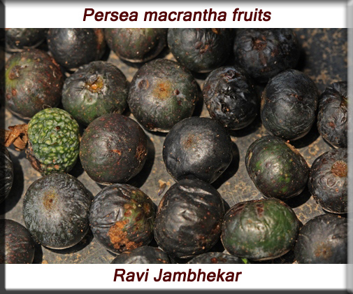 Persea macrantha fruit