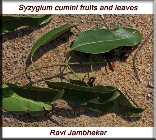Syzygium cumini fruits and leaves