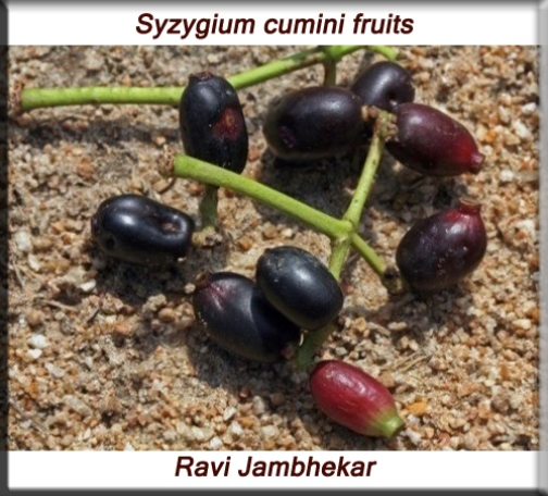 Syzygium cumini fruits fruit