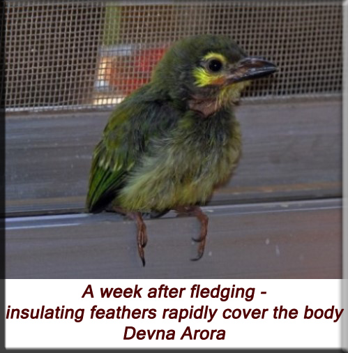 Devna Arora - A week after fledging - insulating feathers rapidly cover the body