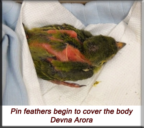 Devna Arora - Pin feathers begin to cover the body