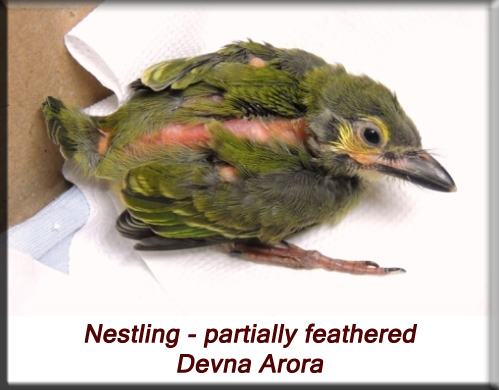 Devna Arora - Partially feathered baby barbet