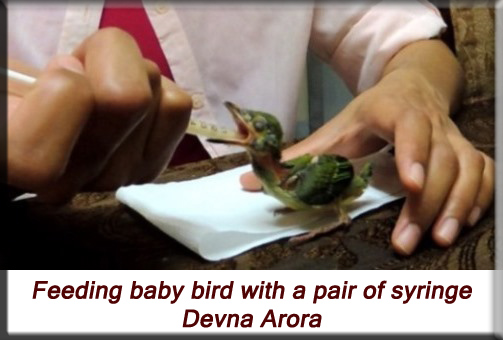 Devna Arora - Feeding the nestling with a syringe