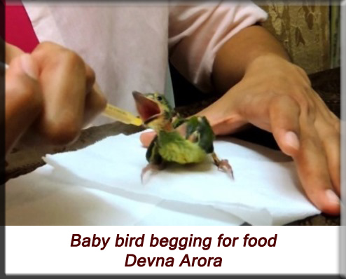 Devna Arora - Baby bird begging for food