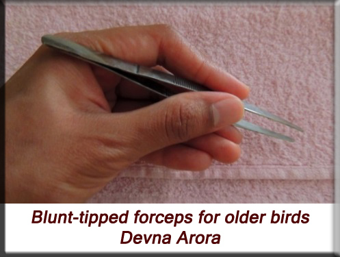 Devna Arora - Blunt-tipped forceps for feeding older chicks