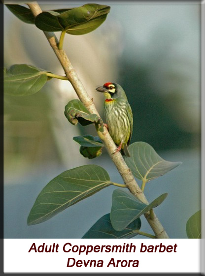 Devna Arora - Adult Coppersmith barbet