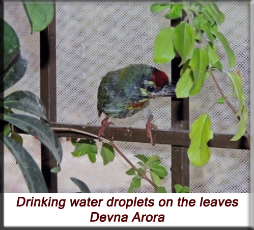 Devna Arora - Drinking water droplets on the leaves