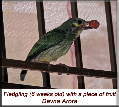 Devna Arora - Fledgling (6 weeks old) with a piece of fruit