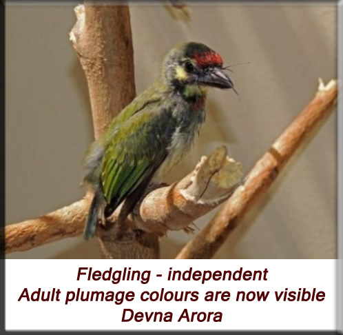 Devna Arora - Fledgling - independent