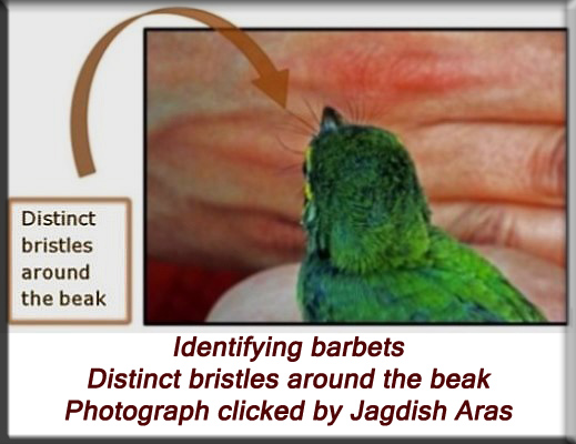 Devna Arora - Identifying barbets - distinct bristles around the beak