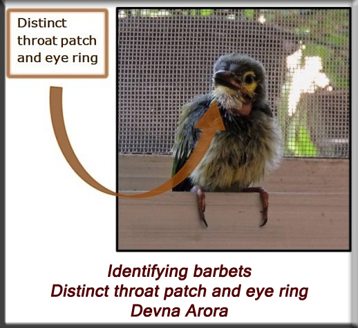 Devna Arora - Identifying barbets - distinct throat patch and eye ring