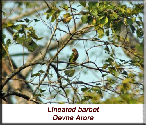 Devna Arora - Lineated barbet