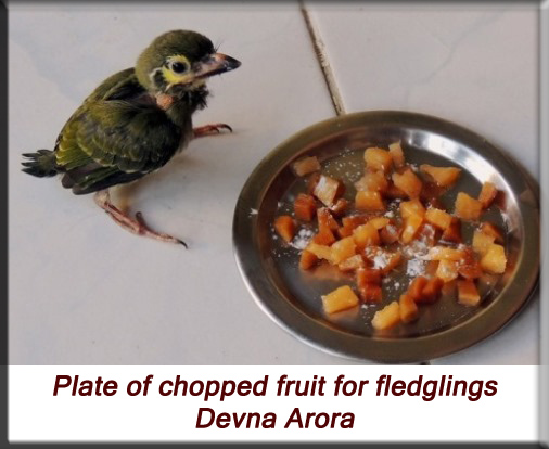 Devna Arora - Plate of chopped fruit for fledglings