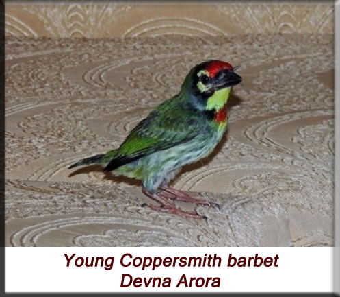 Devna Arora - Sub-adult Coppersmith barbet