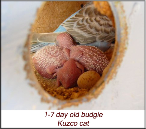 1-7 day old budgie