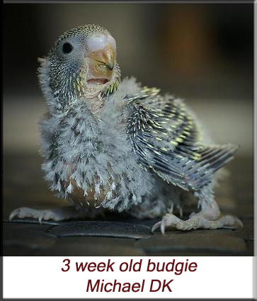 3 week old budgie
