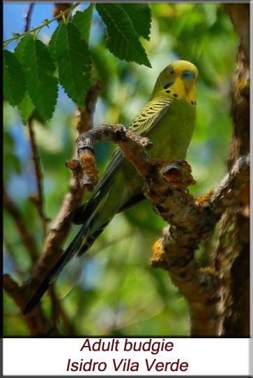 Hand-raising and care of budgerigars (Melopsittacus