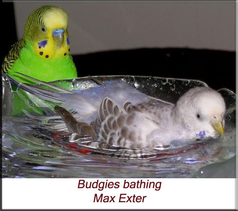 Budgies bathing
