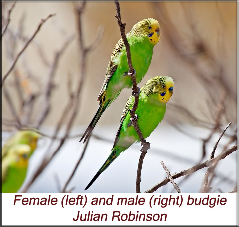 Male and female budgie