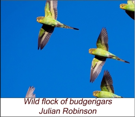 Wild flock of budgerigars