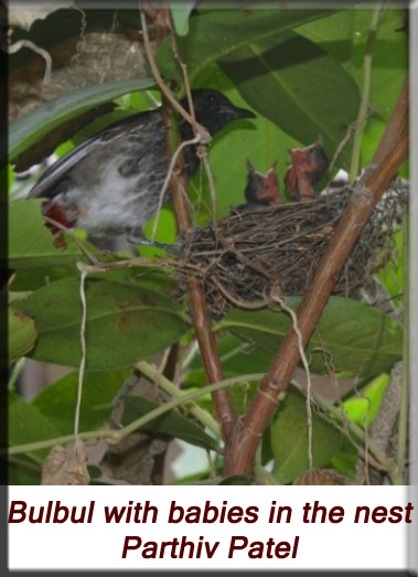 Devna Arora - Bulbul with babies in the nest