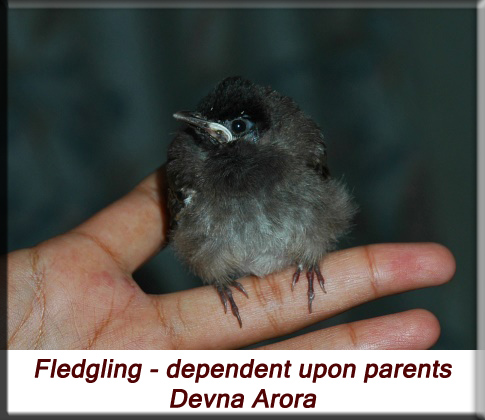 Devna Arora - Fledgling dependent upon parents