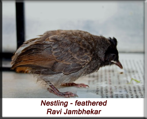 Ravi Jambhekar - Partially feathered baby bulbul