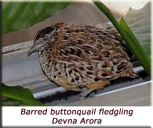 Devna Arora - Barred Buttonquail Fledgling