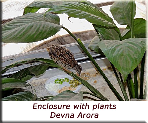 Devna Arora - Barred buttonquail enclosure with plants