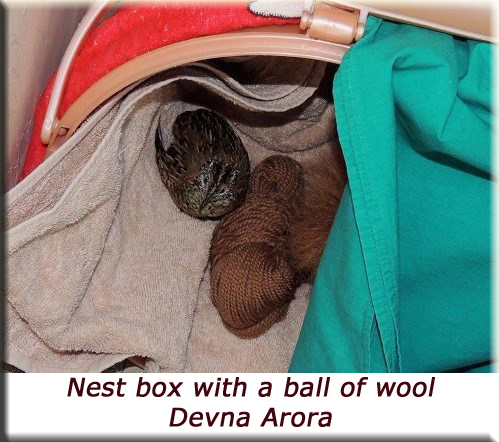 Devna Arora - Barred buttonquail nest box with a ball of wool