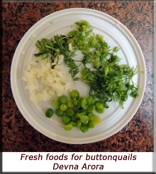 Devna Arora - Tray of fresh foods for buttonquails