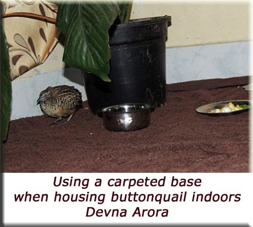 Devna Arora - Using a capeted base when housing buttonquail indoors
