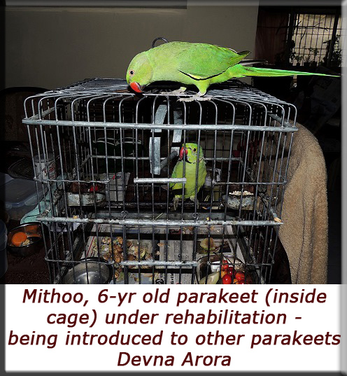 Devna Arora - Captive parakeet being introduced to other parakeets under rehab