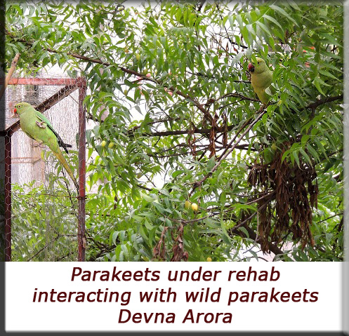 Devna Arora - Interacting with wild parakeets