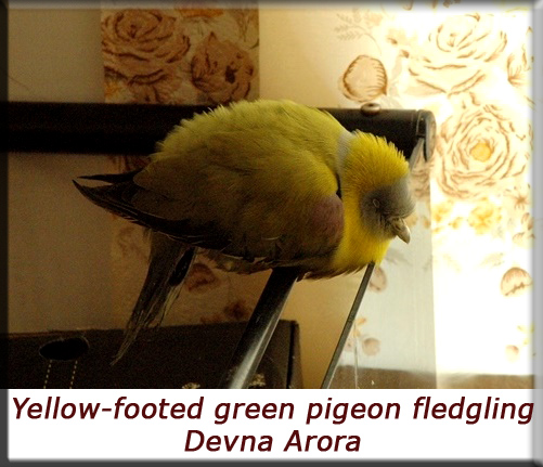 Devna Arora - Yellow-footed green pigeon fledgling