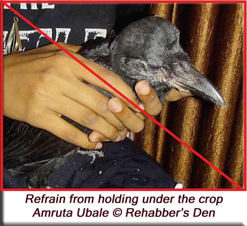 Handling young crows - Refrain from holding under the crop 1