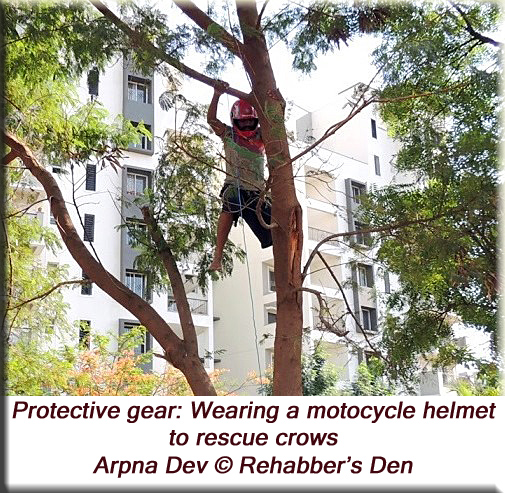 Wearing a motorcycle helmet to rescue crows