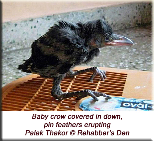 Baby crow covered in down, pin feathers erupting