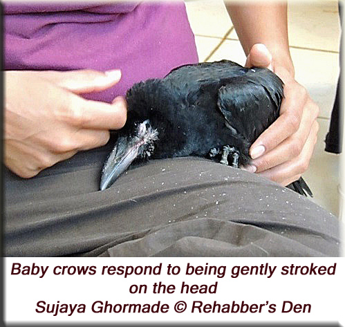 Baby crows respond to being gently stroked on the head