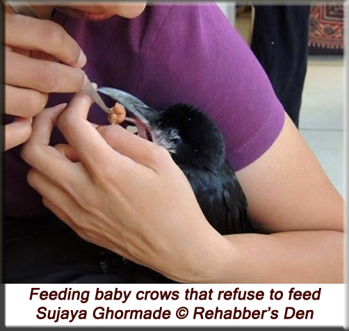 Feeding baby crows that refuse to feed 1
