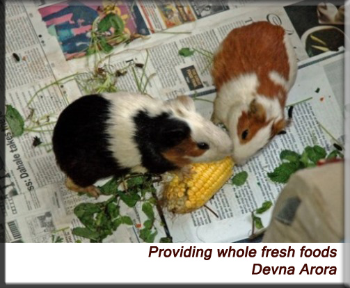 Devna Arora - Guinea pigs munching on corn