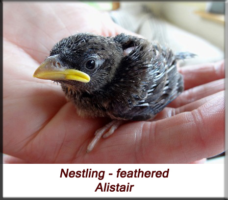 Alistair - House sparrow feathered nestling