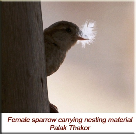 Palak Thakor - Female house sparrow carrying nesting material
