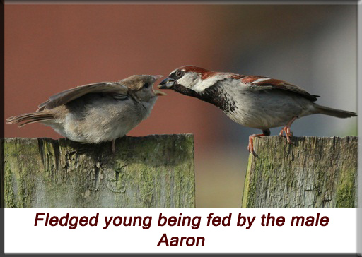 Aaron - Fledged sparrow being fed by the male