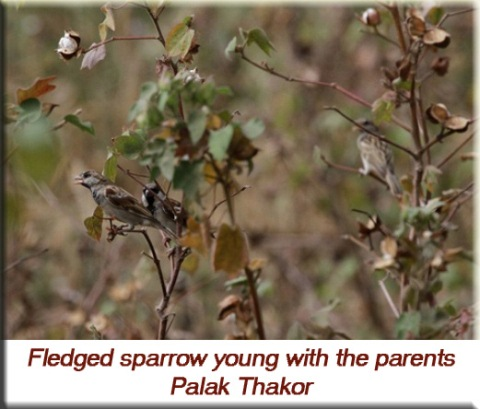 Palak Thakor - Fledged sparrow young with the parents