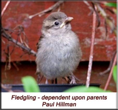 Paul Hillman - House Sparrow - fledgling dependent upon parents